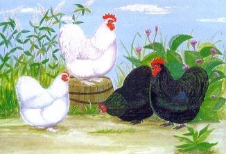 Store lange hvide haner