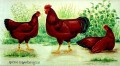 R.I.R. Rhode Islands Red